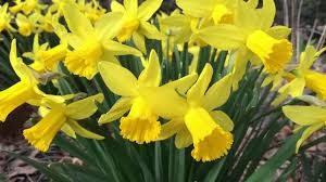Daffodil Day 2020